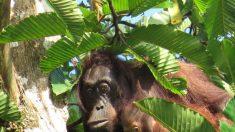 Chasse, trafic, huile de palme : qui tue vraiment les orangs-outans ?