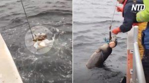 Un petit phoque capturé accidentellement s'agite sauvagement alors que les pêcheurs tentent un sauvetage très risqué