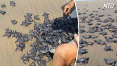 Des hommes relâchent des centaines de bébés tortues de mer sur la plage - regardez comment l'instinct prend soudainement le dessus