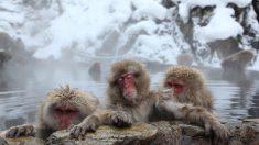 En période de froid, les macaques japonais s'offrent des cures thermales prolongées aux sources chaudes