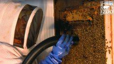 Les employés du zoo de Cincinnati sauvent et réhabilitent 50 000 abeilles trouvées dans un garage