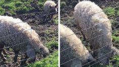 Des porcs laineux ont attisé la curiosité d'une cycliste