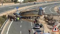 ESPAGNE – Un camion de cirque se renverse, les éléphants s'enfuient