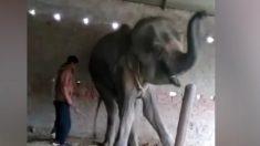 Une vidéo choquante montre les dernières heures de la vie d'un éléphant en captivité en Inde