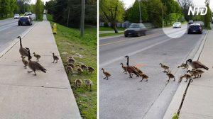 Une famille d'oies arrive sur une route fréquentée et décide de traverser. Un automobiliste réagit à temps.