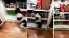 On dirait que ce chien cherche à grignoter tard le soir, mais il devient tout simplement stupide !