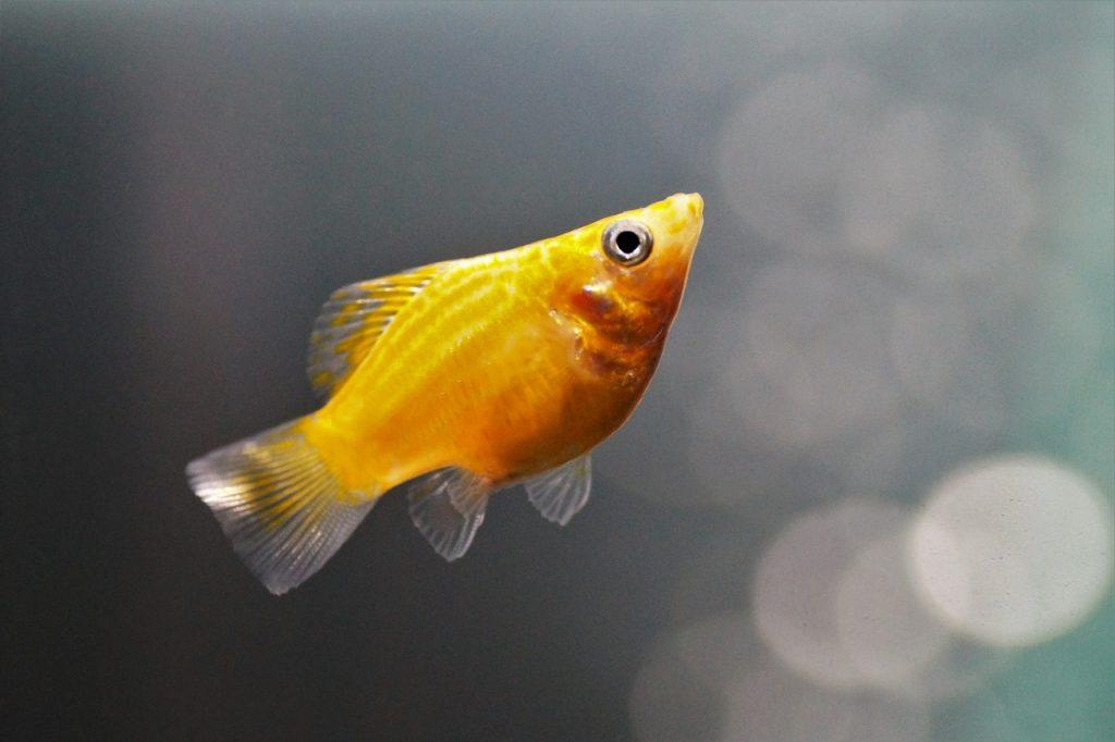 Saviez vous qu il est cruel de garder un poisson rouge for Bocal de poisson rouge