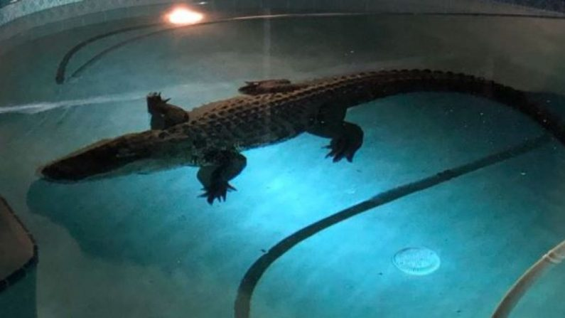 Une famille découvre un alligator de 3,4 mètres dans sa piscine – la police et un professionnel apportent ensuite le matériel pour le sortir de là