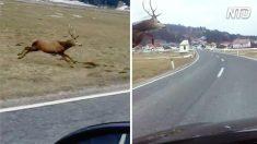 Ce cerf semble mettre au défi un automobiliste sur l'autoroute - mais après, il fait l'incroyable...
