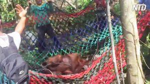 Un orang-outan affamé tombe de l'arbre dans le filet du sauveteur – après son rétablissement, c'est un tout nouveau singe