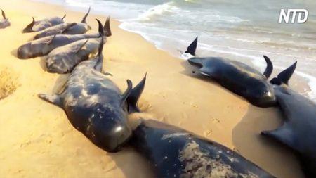 Des pêcheurs aperçoivent 100 baleines échouées sur les côtes de l'Inde – inquiets, ils passent à l'action