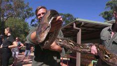 Il aura fallu 5 personnes pour peser ce superbe python géant