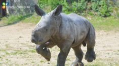 Ardèche : naissance au Safari de Peaugres d'un petit rhinocéros blanc , une espèce extrêmement menacée