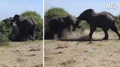 Un groupe de d'aventuriers remarque des mouvements dans les buissons - quand un combat d'éléphants mâles éclate, ça devient effrayant !