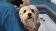 Un vétérinaire utilisait ses capacités chirurgicales pour cacher de la drogue dans le ventre des chiots