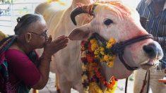 Inde : soupçonné d'avoir tué une vache, un musulman est battu à mort par la foule