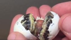 Ces tortues jumelles sont nées conjointes. La méthode utilisée pour les séparer, c'est très inhabituel