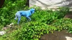 Les spectateurs offrent des friandises à des chiens 'bleus' bizarres - pourquoi ce changement de teinte est-il profondément troublant ?