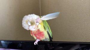 Cette perruche a une démangeaison difficile à gratter. Ce qu'elle a décidé d'utiliser? – sa propriétaire se devait de filmer cela