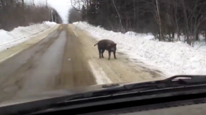 Un homme qui roule sur une route libre rencontre un cochon errant et a la conversation la plus drôle