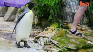 Un manchot avait peur de l'eau, mais ce gardien de zoo a fait quelque chose que les autres n'auraient pas fait