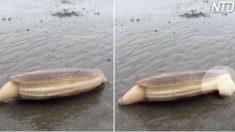 Un promeneur sur la plage aperçoit une palourde étrange - mais soudainement, elle commence à faire des