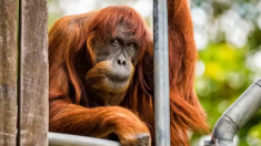L'orang-outang le plus âgé du monde meurt dans un zoo australien et laisse 54 descendants à travers le monde
