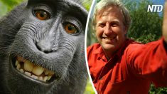 Un singe prend un selfie viral avec la caméra de cet homme, mais vous ne croirez pas qui réclame le copyright!