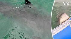 Des plaisanciers aperçoivent un grand requin blanc de 3,60 mètres pendant qu'ils observent un phoque d'un bateau pneumatique – alors l'impensable se produit