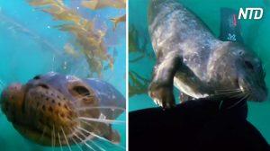 Un plongeur est «pris en embuscade» pour une attaque de câlins par un phoque, mais il ne peut pas s'empêcher de rire – adorable!