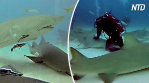 Ce plongeur est littéralement entouré de requins au fond de l'océan, mais surveillez de près pour voir pourquoi il n'a pas peur