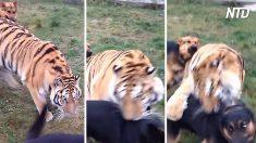 Ce tigre de Sibérie semble sur le point de dévorer un berger allemand – mais ce qui arrive ensuite est surprenant