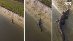 La caméra d'un drone se faufile au-dessus de cet alligator
