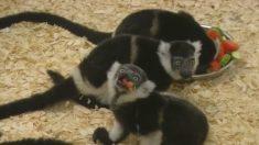 Le zoo de Prague fête la naissance de lémuriens triplés