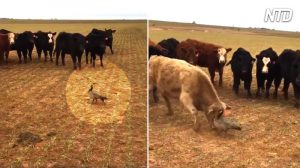 Une oie téméraire se retrouve face à face avec un troupeau de vaches agressives. Qui revendiquera la victoire?