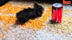 Ce chien est si petit qu'il est potentiellement le plus petit du monde - il suffit de le comparer à sa main