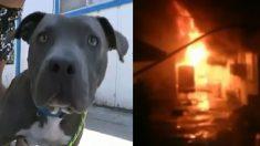 La maison prend feu, une jeune pit-bull fonce dans les flammes pour faire quelque chose d'incroyable