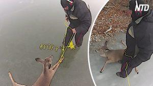 Deux hommes tombent sur des cerfs sans défense piégés dans un lac glacé, mais ce qu'ils font avec cette corde, c'est trop drôle