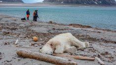 Arctique: Un ours polaire attaque et blesse un homme, il est abattu