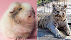 Voici des photos d'animaux trisomiques montrant leur ressemblance avec leurs homologues humains!