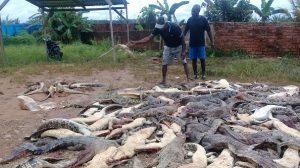 En Indonésie, des habitants en colère massacrent près de 300 crocodiles après la mort d'un homme