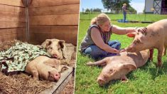 Inséparables : un cochon secouru et dévoué prend soin de son meilleur ami malade