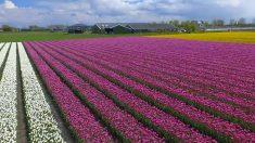 Aux Pays-Bas, des images aériennes montrent des champs de tulipes et des moulins à vent, c'est resplendissant !
