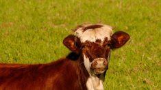 Un veau s'échappe de l'abattoir et fausse compagnie à son propriétaire