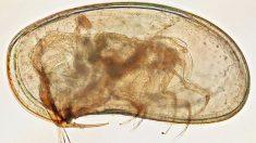 Les ostracodes : quelques microns, une carapace et 480 millions d'années d'histoire