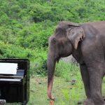 Une éléphante aveugle et agitée apprécie l'interprétation de Bach joué au piano et commence à «danser»