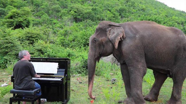 Une éléphante aveugle et agitée apprécie l'interprétation de Bach jouée au piano et commence à «danser»