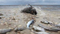 Une «marée rouge» décime la population aquatique de la côte ouest de la Floride