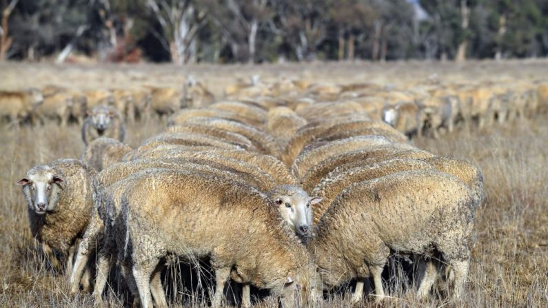 Les éleveurs australiens face à la pire sécheresse en «plus de 50 ans»
