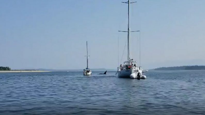 Dans le port de l'île de Vancouver, une orque fait quelque chose d'incroyable!